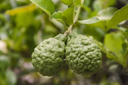 Two fresh kaffir limes with leaves on branch Standard-Bild