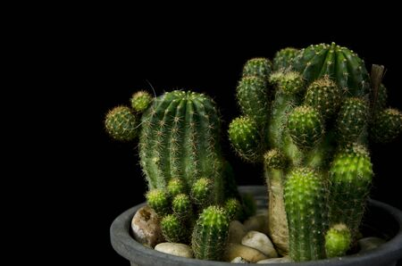 Beautiful green cactus with stones in pot on black background Imagens - 134394215