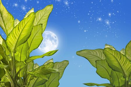 Beautiful leaves of dumb cane tree in full moon night Imagens - 134394227