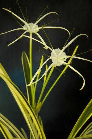 Beautiful white flowers of spider lily on art background Imagens - 134394229