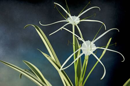 White petals with long tails and leaves of spider lily on blue smoke background Imagens - 134478116