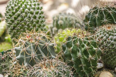 Beautiful green cacti with sharp thorns in garden Imagens - 134478121