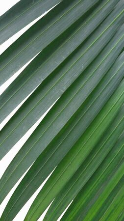 Green pattern of palm leaves on white background Imagens - 134478144