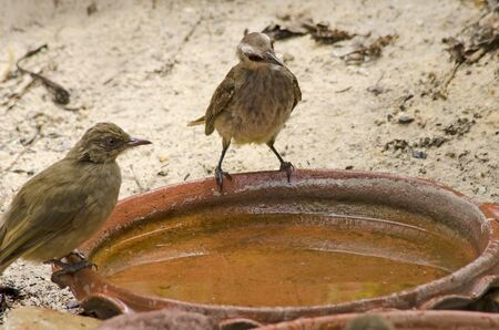 Couple bulbuls on brown tray with clear water Imagens - 134478162