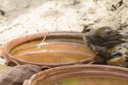 Yellow-vented bulbul with clear water in the jar Imagens - 134478171
