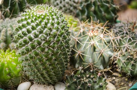 Beautiful thorn pattern of cactus skin in garden Imagens - 134478172