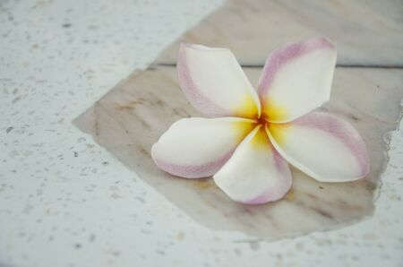 White and pink with yellow colors of plumeria flower close up Imagens - 134478178