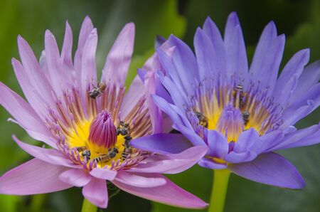 Pink and violet water lily flowers with small bees inside Imagens - 134478182