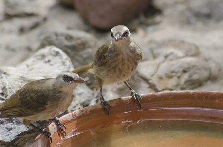 Couple yellow-vented bulbuls with cool water in dried season Imagens - 134478191