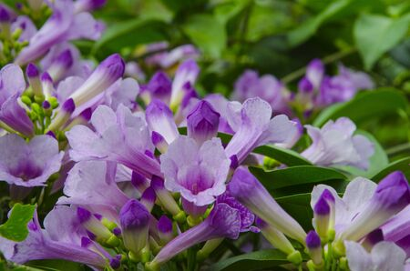 Fresh and clear violet flowers of garlic vine Imagens - 134478201