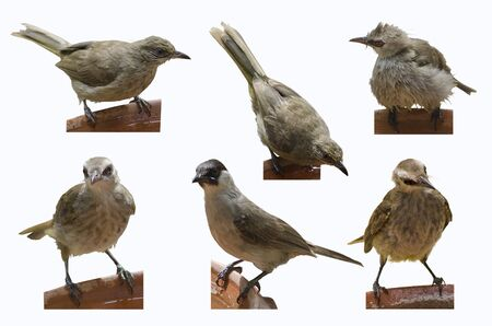 Six action of cute bulbul brids on rim of trays with water Imagens - 134478205