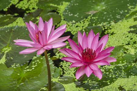 Two beautiful water lily flowers in the pond Imagens - 134478209