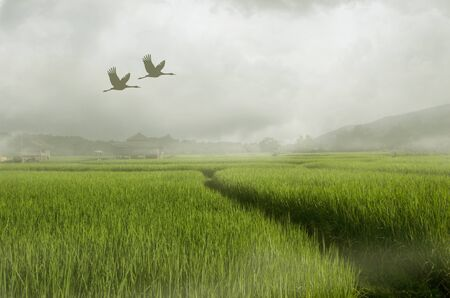 Flying cranes over green rice field in morning fog