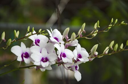 Beautiful flowers of dendrobium orchid in light Imagens