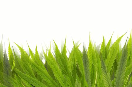 Beautiful fresh green leaf pattern of marijuana tree Imagens - 134478233