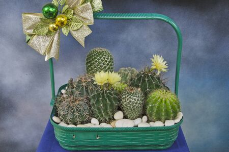 Beautiful green basket of cactus gift for congatulation