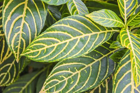 Beautiful pattern on leaves of zebra plant tree close up