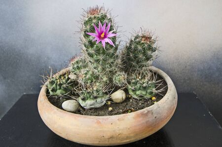 Mammillaria sphacelata cactus with beautiful flower in tray pot