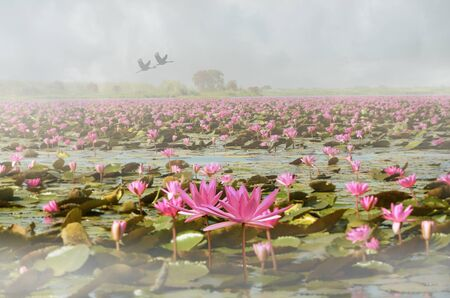 Beautiful red water lily sea in thick morning fog