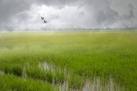 Beautiful green rice field and birds in morning fog Imagens