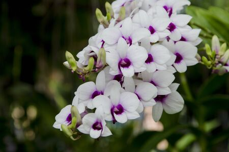 Beautiful white and violet flowers of orchid