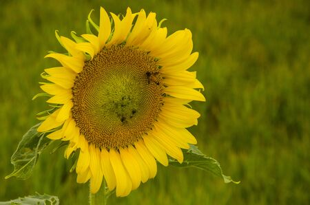 Big yellow sunflower with leaves on blurry background