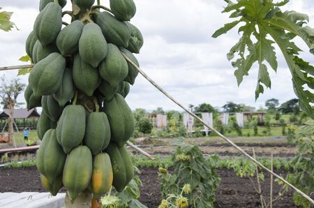 Young and old fruits of bushy papaya on the trunk
