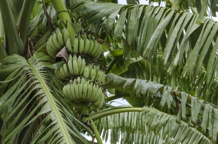 Young green fruits on bunch of banana tree