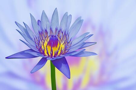 Beautiful blue water lily flower with branch on blue and yellow background