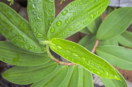 Fresh green leaves of Indian head ginger with rain drops on