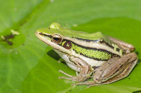 Sunbathe green frog on water lily leaf Imagens