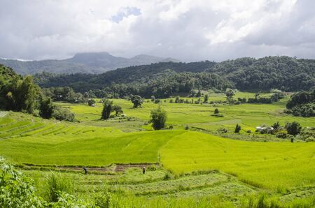 Green rice field and tree in the valley in Thailand