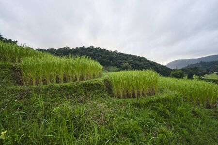 High rice bushes in rice terrace with mountain background