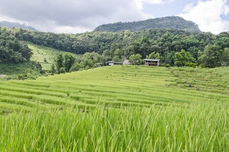 New ear of rice and green leaves with rice terrace near the mountains