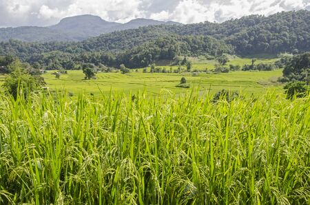 Young ear of rice with field and mountains in Thailand