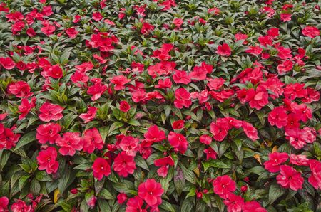Beautiful red flowers of impatiens close up