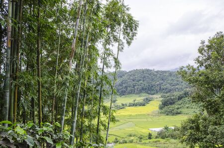High green bamboo trees with rice terrace below