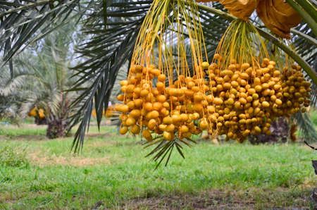 Yellow fruits and leaves of date palm in the garden