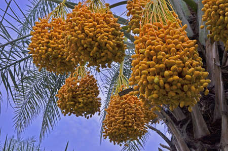 Bunches of beautiful yellow date palm fruit on the top