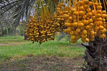 Yellow ripe date palm fruits near ground floor
