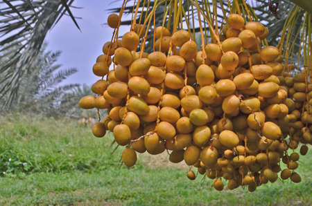 Bunches of many yellow ripe fruits of date palm tree