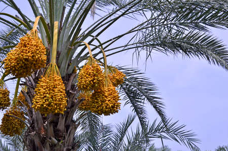 Beautiful yellow ripe fruits on the top of date palm