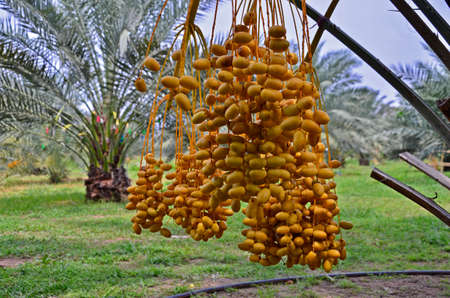 Hanging yellow fruits of date palm over the lawn in the park