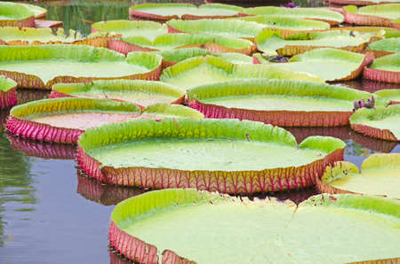 Beautiful big green leaves of Victoria waterlily in sunlight Imagens