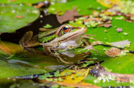 Beautiful bright eyes of harmonious green frog in waterlily leaves