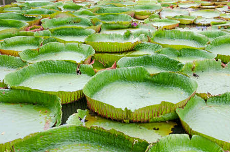 Fresh green leaves of Victoria waterlily in the water