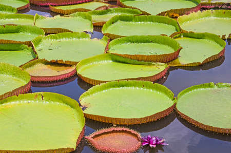 Big waterlily leaves and reflections in the water Imagens