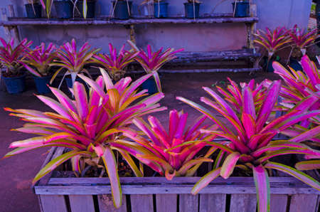 Beautiful leaves of  Bromeliad in wooden pot Imagens
