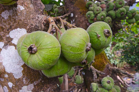 Old fruits of Siam figs on the trunks