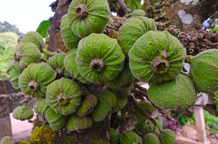 Wonderful fruits of Siam figs on the trunks